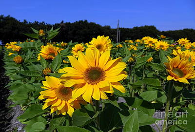 Photograph - Closeup Of A Radiant Sunflowers by Yali Shi
