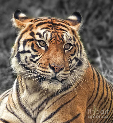 Portrait Photograph - Closeup Of A Tiger Relaxing On A Cool Afternoon  by Jim Fitzpatrick