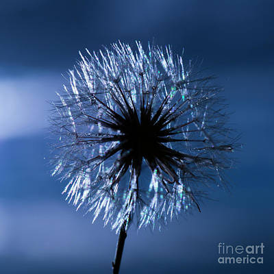 Photograph - Closeup Of A Wild Dandelion by Rob D