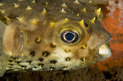 Porcupine Fish Photograph - Closeup Of A Yellowspotted Burrfish by Tim Laman