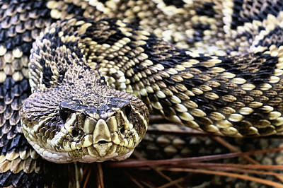 Photograph - Closeup Of An Eastern Diamondback Rattlesnake by JC Findley