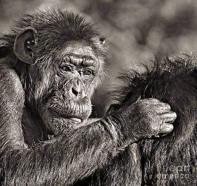 Photograph - Closeup Of An Elderly Chimp Grooming Her Mate by Jim Fitzpatrick