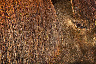 Photograph - Closeup Of An Icelandic Horse by Stuart Litoff