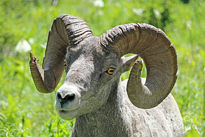 Photograph - Closeup Of Bighorn Sheep by Jason Kolenda