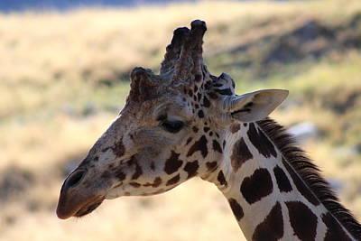 Closeup Of Giraffe Art Print by Colleen Cornelius