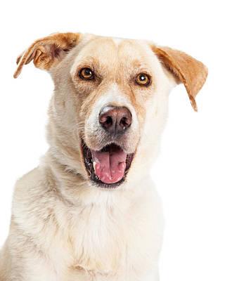 Closeup Of Happy Yellow Labrador Dog Crossbreed Art Print
