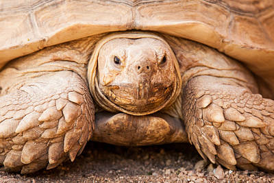 Galapagos Photograph - Closeup Of Large Galapagos Tortoise by Susan Schmitz