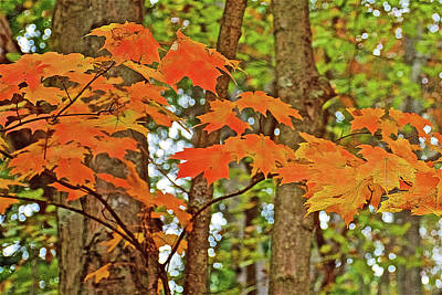 Photograph - Closeup Of Orange Maple Leaves On Trail To North Beach Park In Ottawa County, Michigan by Ruth Hager