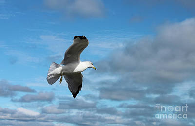Photograph - Closeup Of Seagull In Flight Against Stormy Cloudy Sky by Susan Vineyard