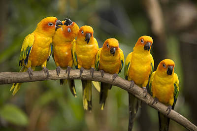 Captive Animal Photograph - Closeup Of Six Captive Sun Parakeets by Tim Laman