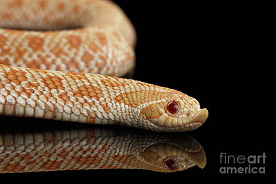Reptiles Photograph - Closeup Pink Pastel Albino Western Hognose Snake, Heterodon Nasicus Isolated On Black Background by Sergey Taran