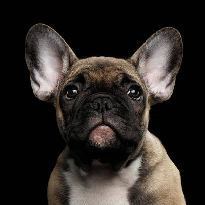 Closeup Portrait French Bulldog Puppy, Cute Looking In Camera Art Print