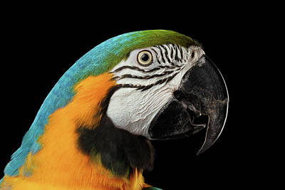 Cute Bird Photograph - Closeup Portrait Of A Blue And Yellow Macaw Parrot Face Isolated On Black Background by Sergey Taran
