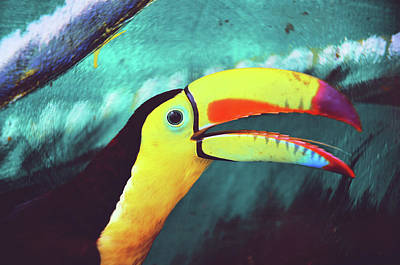Closeup Portrait Of A Colorful And Exotic Toucan Bird Against Blue Background Nicaragua Art Print