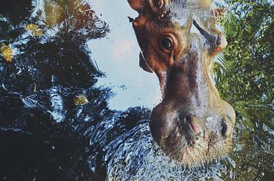 Closeup Portrait Of A Hippo/hippopotamus Looking At The Camera Art Print
