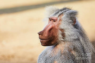 Photograph - Closeup Portrait Of A Male Baboon by Nick Biemans