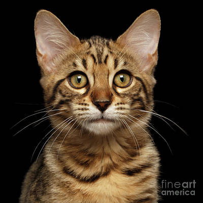Closeup Portrait Of Bengal Kitty Isolated Black Background Print by Sergey Taran