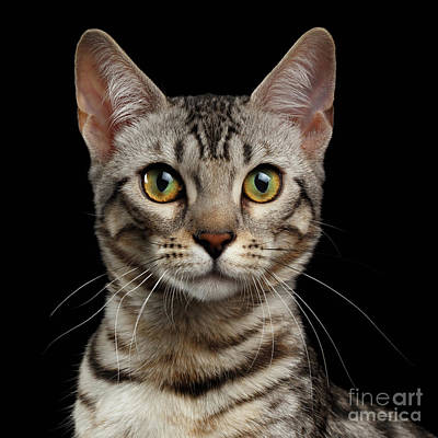 Closeup Portrait Of Bengal Kitty Looking At Camera On Black  Print by Sergey Taran