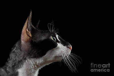 Closeup Portrait Of Cornish Rex In Profile Isolated On Black  Print by Sergey Taran