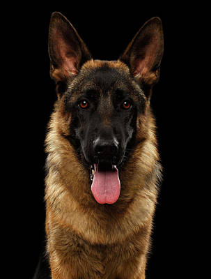 Dog Photograph - Closeup Portrait Of German Shepherd On Black  by Sergey Taran