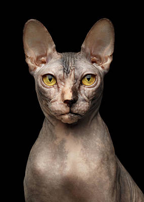 Closeup Portrait Of Grumpy Sphynx Cat, Front View, Black Isolate Art Print by Sergey Taran