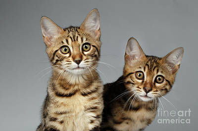 Closeup Portrait Of Two Bengal Kitten On White Background Print by Sergey Taran