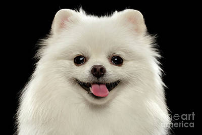 Closeup Portrait Of  White Spitz Dog On Black  Print by Sergey Taran
