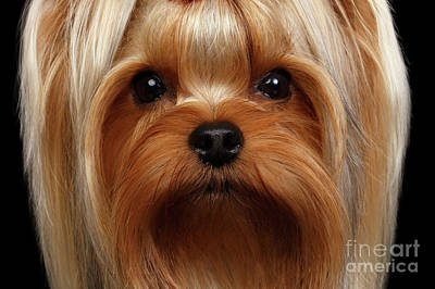 Closeup Portrait Yorkshire Terrier Dog On Black Print by Sergey Taran