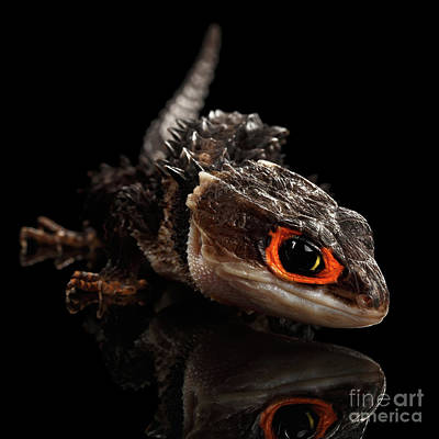 Reptiles Photograph - Closeup Red-eyed Crocodile Skink, Tribolonotus Gracilis by Sergey Taran