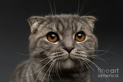 Black Cat Photograph - Closeup Scottish Fold Cat On Black by Sergey Taran