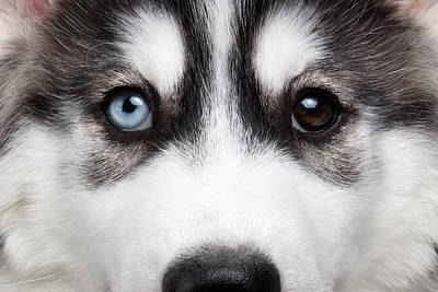 Dog Wall Art - Photograph - Closeup Siberian Husky Puppy Different Eyes by Sergey Taran