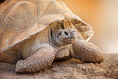 Tortoise Photograph - Closeup Side View Of Galapagos Tortoise by Susan Schmitz