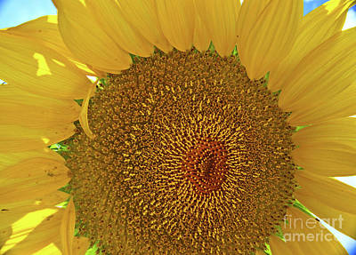 Photograph - Closeup Sunflower by George D Gordon III