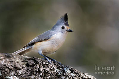 Photograph - Closeup Titmouse by David Cutts