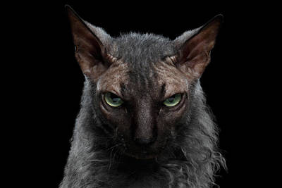 Closeup Werewolf Sphynx Cat Angry Looking In Camera Isolated Black Art Print
