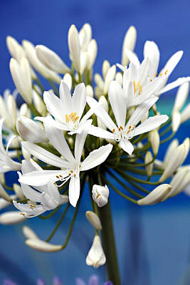 Photograph - Closeup White Californian Flower by Marilyn Hunt