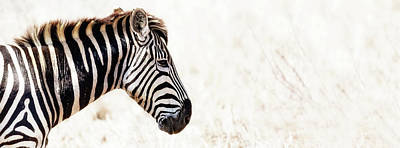 Photograph - Closeup Zebra Horizontal Banner by Susan Schmitz