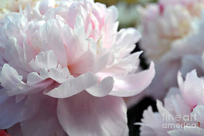 Cloud Of Peonies-47 Art Print