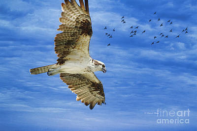 Osprey Painting - Cloud Soaring by Deborah Benoit