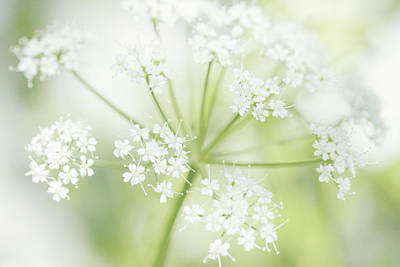 Cow Parsley Wall Art - Photograph - Cloudburst  by Connie Handscomb