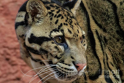 Photograph - Clouded Leopard #4 by Richard Smith