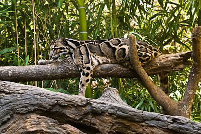 Photograph - Clouded Leopard 6 by Douglas Barnett
