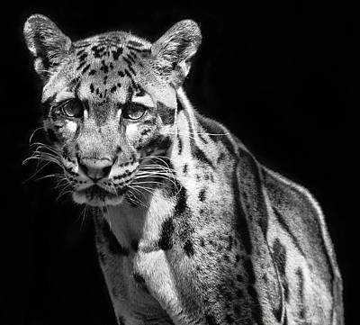Photograph - Clouded Leopard by Art Cole