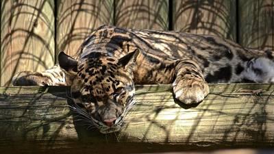 Photograph - Clouded Leopard by Carol Bradley