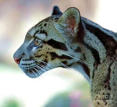 Clouded Leopard Original by Randy Matthews