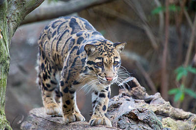 Photograph - Clouded Leopard by SR Green