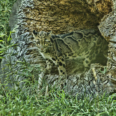 Photograph - Clouded Leopard by Steven Parker