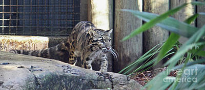 Photograph - Clouded Leopard by Terri Mills