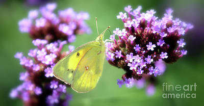 Photograph - Clouded Sulphur Butterfly by Elizabeth Winter