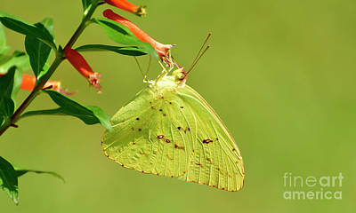 Photograph - Clouded Sulphur Butterfly Macro by Kathy Baccari